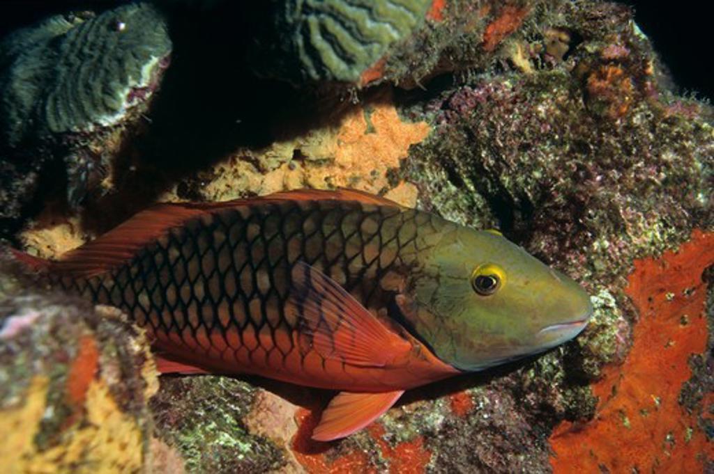 Stock Photo: 4179-42662 Stoplight Parrotfish ight Phase (Sparisoma viride) Flower Gardens Banks NMS