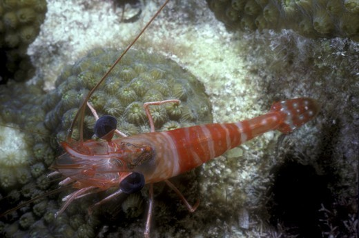 Stock Photo: 4179-42873 Red Night Shrimp (Rhynchocinetes rigens) Caribbean