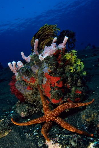 Stock Photo: 4179-43095 Reef Scene and New Caledonian Sea Star (Nardoa novaecaledoniae) crawling past a Rock covered with Sponges and Crinoids, Bali, Indonesia