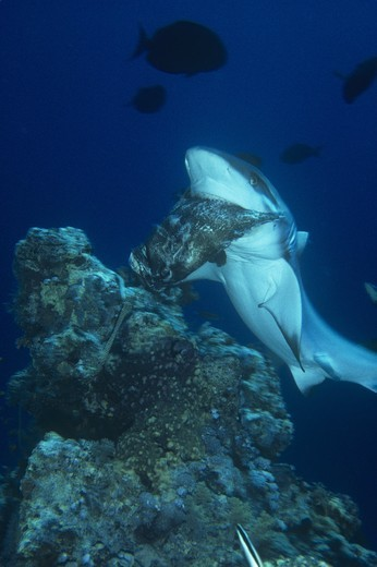 Stock Photo: 4179-43339 Grey Reef Shark eating grouper (Carcharhinus amblyrhynchos)   Red Sea