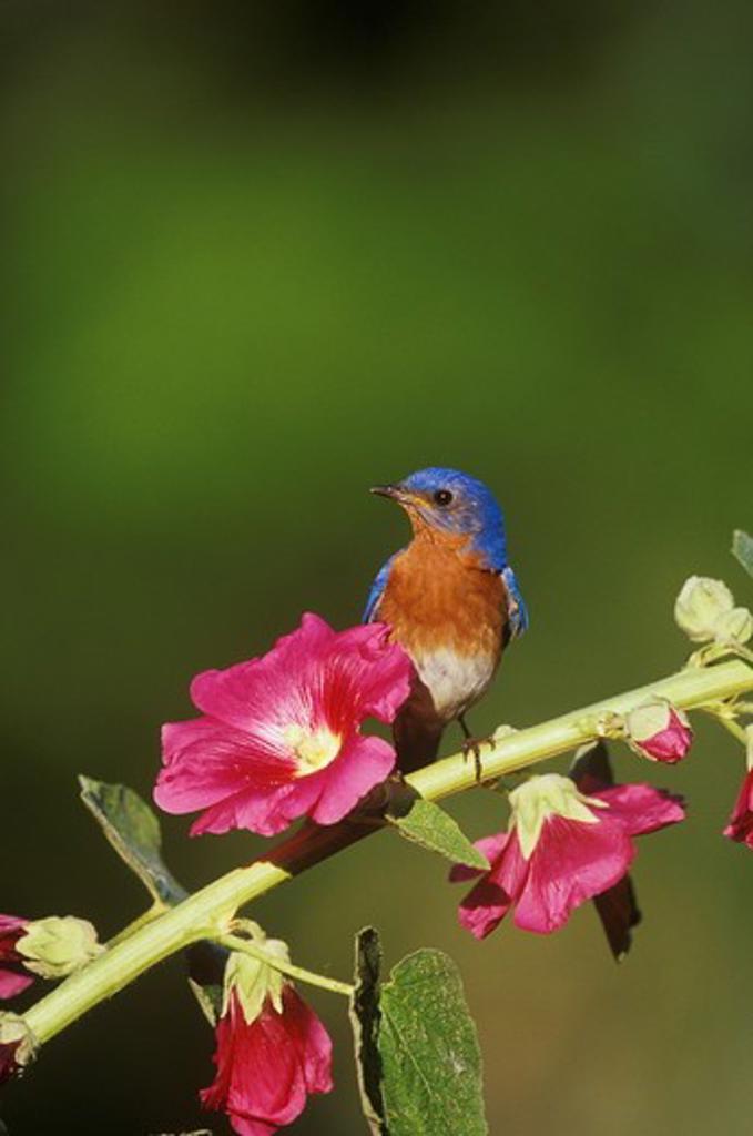 Stock Photo: 4179-4348 E. Bluebird Male on Hollyhock, Marion Co., IL (Sialia sialis)