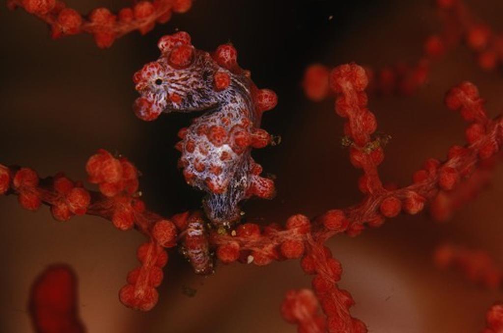 Stock Photo: 4179-43511 Pygmy Seahorse (Hippocampus bargibanti), N. Sulawesi, Indonesia