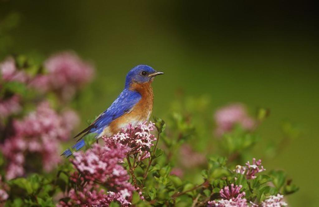 Stock Photo: 4179-4355 Eastern Bluebird male in Dwarf Korean Lilac (Sialia sialis) Marion Co., Illinois (Syringa meyeri 'Palibin')