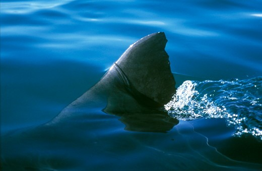 Great White Shark Fin above surface of water, S Africa (Carcharodon carcharias) : Stock Photo