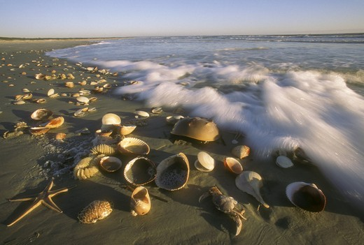 Sea Shells washed ashore Cumberland Island, GA, Georgia : Stock Photo