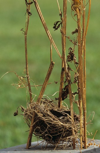 Stock Photo: 4179-4480 Red-winged Blackbird Nest (Agelaius phoeniceus), Dayton, OH