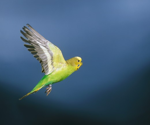 Budgerigar (Melopsittacus undulatus) Flying : Stock Photo