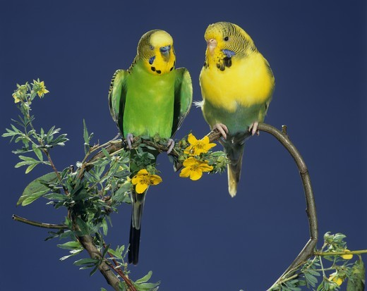Stock Photo: 4179-4525 Budgerigar Couple displaying onheart shaped twig pets