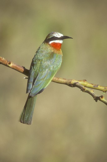 Stock Photo: 4179-4549 White-fronted Bee-eater (Merops bullockoides), Lake Nakuru NP, Kenya