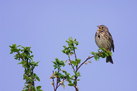 Stock Photo: 4179-4606 Corn Bunting (Miliaria calandra) adult singing, National Park Lake Neusiedl, Burgenland, Austria, April 2007