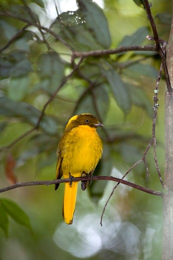 Stock Photo: 4179-4644 Golden Bowerbird (Prionodura newtoniana), male, Paluma Range, QLD, Australia
