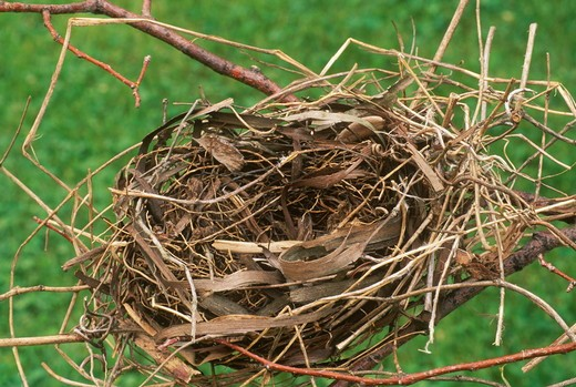 Stock Photo: 4179-5052 Nest of N. Cardinal (C. cardinalis), Dayton, OH auth. col. of Dr. Don Geiger