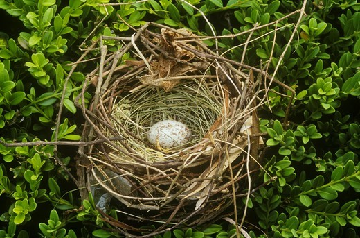 Stock Photo: 4179-5053 Cowbird Egg in Indigo Bunting Nest, Parasitism, Dayton, Ohio