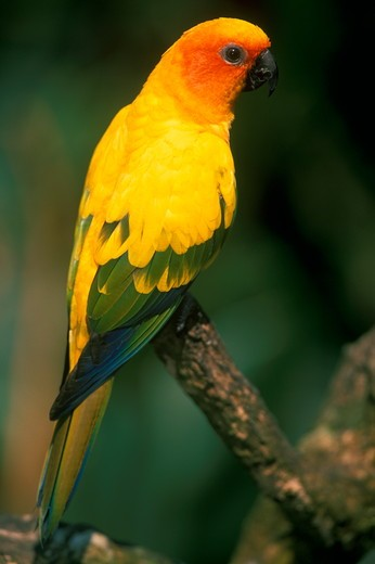 Sun Conure (Aratinga solstitialis), IC, native to South America : Stock Photo