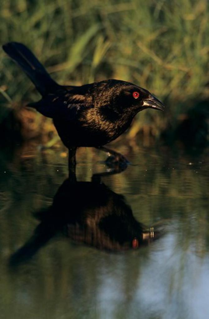 Bronzed Cowbird (Molothrus aeneus) Male, Lake Corpus Christi, Texas, USA, June 2003 : Stock Photo