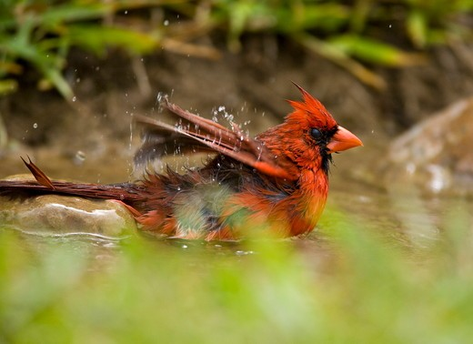Stock Photo: 4179-5180 Northern Cardinal (Cardinalis cardinalis) Coastal Bend, Texas