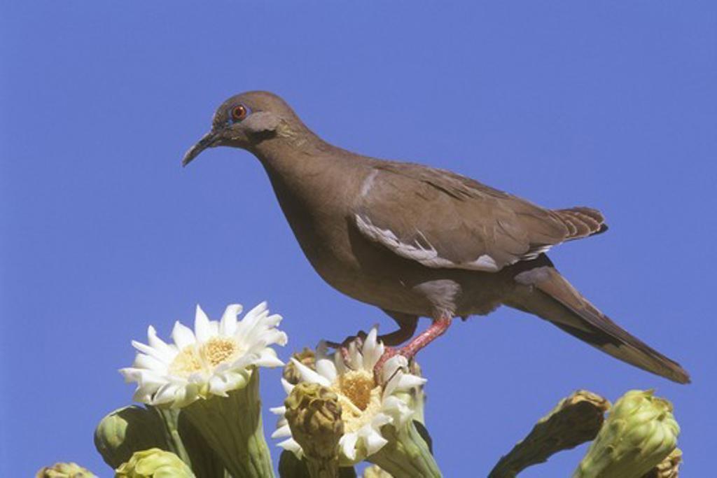 Stock Photo: 4179-5313 White Wing Dove on Saguaro Blossom (Zenaida asiatica)