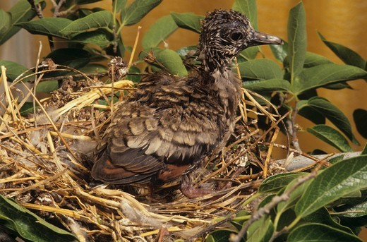 Inca Dove Chick (Columbina inca) : Stock Photo