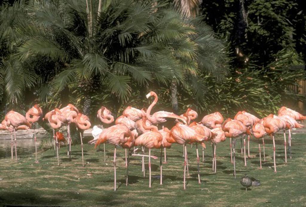 Stock Photo: 4179-5482 American Flamingo San Diego Zoo