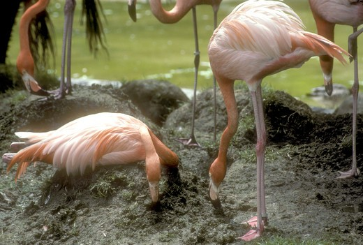 Stock Photo: 4179-5483 American Flamingo Building Mud Nest (Phoenicopterus ruber) S.D. Zoo