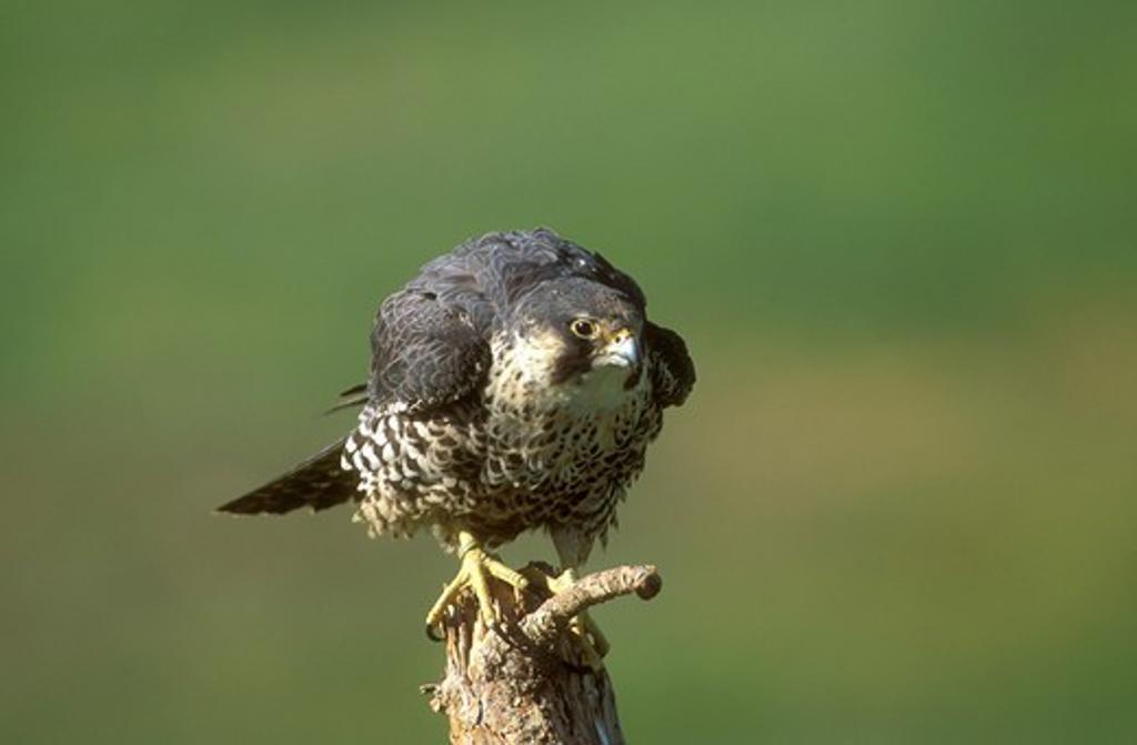 Stock Photo: 4179-5591 Peregrine Falcon (Falco peregrinus) Colorado