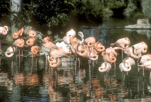 Stock Photo: 4179-5739 American Flamingos (Phoenicopterus ruber) Sea World, San Diego, CA
