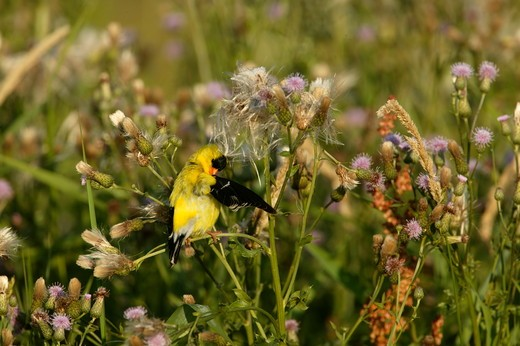 American Goldfinch  (Carduelis tristis)  Summer - Prairie / Meadow - Adult in breeding plumage with wing raised preening feathers, perched on Canada Thistle (Cirsium arvense) (alien). : Stock Photo