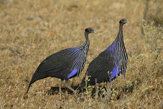 Stock Photo: 4179-5775 Guinea-Fowl (Acryllium vulturinum) Kenya