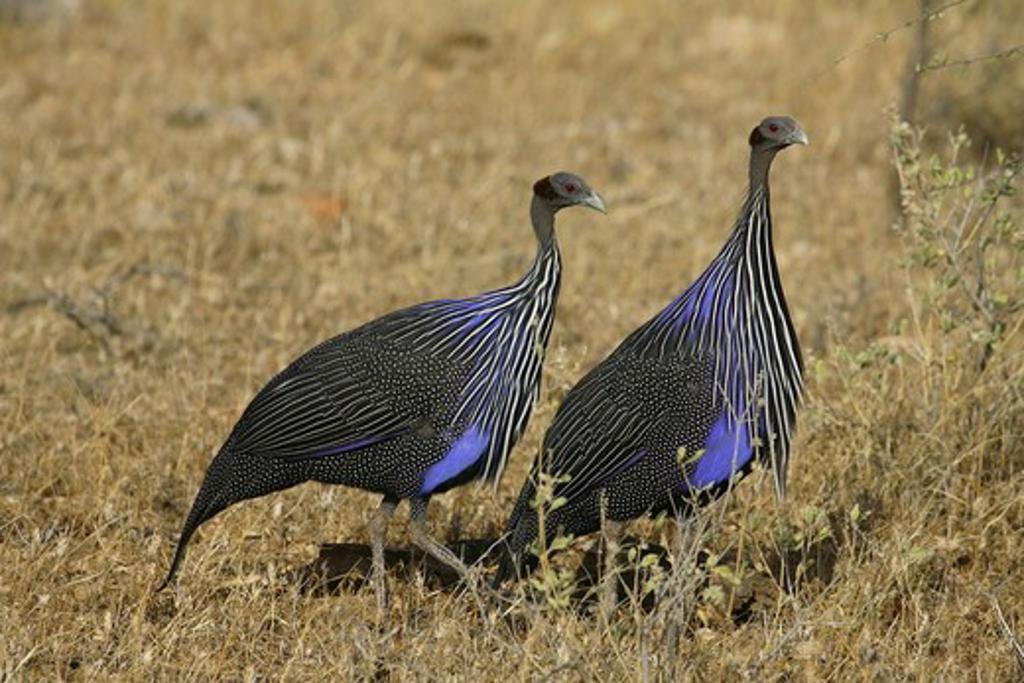 Guinea-Fowl (Acryllium vulturinum) Kenya : Stock Photo
