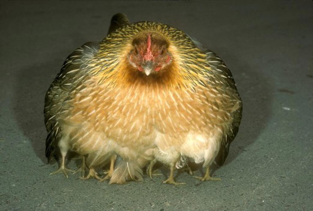 Red Junglefowl (Gallus gallus),  fem. brooding chicks, San Diego Zoo : Stock Photo