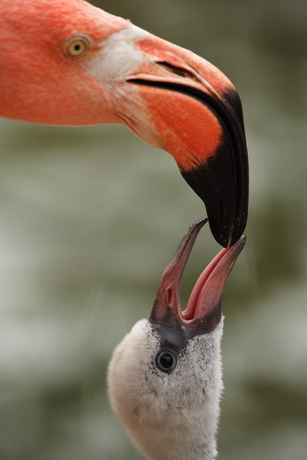 Caribbean Flamingo feeding chick with crop milk (Phoenicopterus ruber ruber) Flamingo Lagoon, San Diego Zoo San Diego, California : Stock Photo