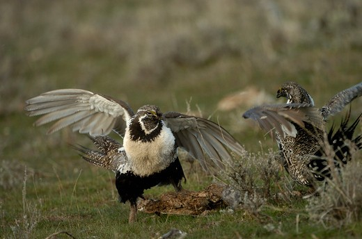 Stock Photo: 4179-6104 Sage Grouse (Centrocercus urophasianus Springtime fight between rival males Utah