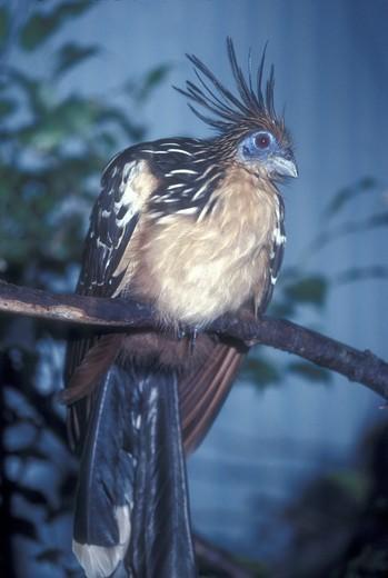 Hoatzin (Opisthocomus hoazin) NE S.A. : Stock Photo
