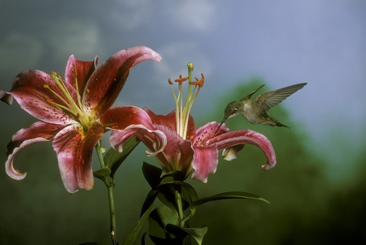 Ruby-throated Hummingbird at Stargazer Lily (Archilochus colubris), MN : Stock Photo