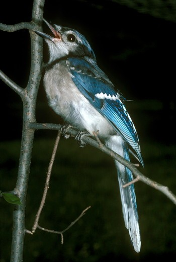 Stock Photo: 4179-7093 Blue Jay  (Cyanocitta cristata)