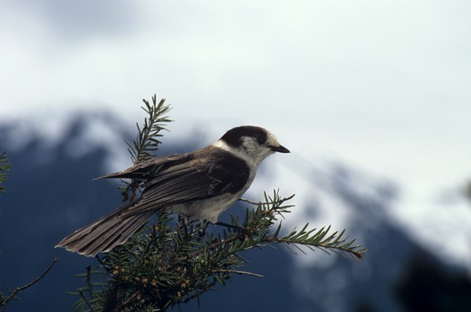 Stock Photo: 4179-7096 Grey Jay (Perisoreus canadensis), Olympic NP, Washington