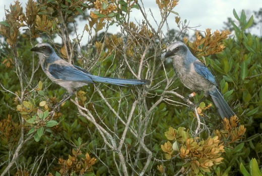 Stock Photo: 4179-7127 Scrub Jays (Aphelocoma coerulescens), female (l.) and male (r.), Archbold Biological Station, FL,  Florida