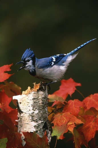 Stock Photo: 4179-7146 Blue Jay Calling (Cyanocitta cristata) Freeville, NY
