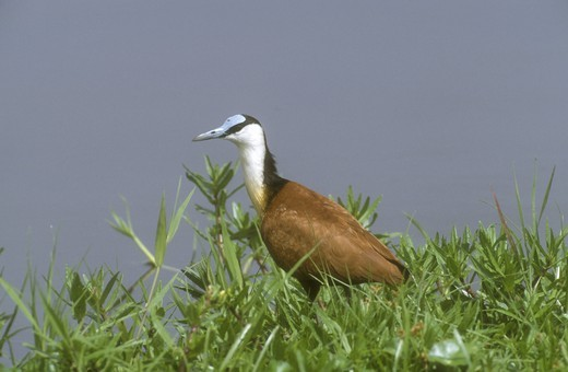 Stock Photo: 4179-7163 African Jacana in marshy Area (Actophilornis africanus), Amboseli NP, Kenya