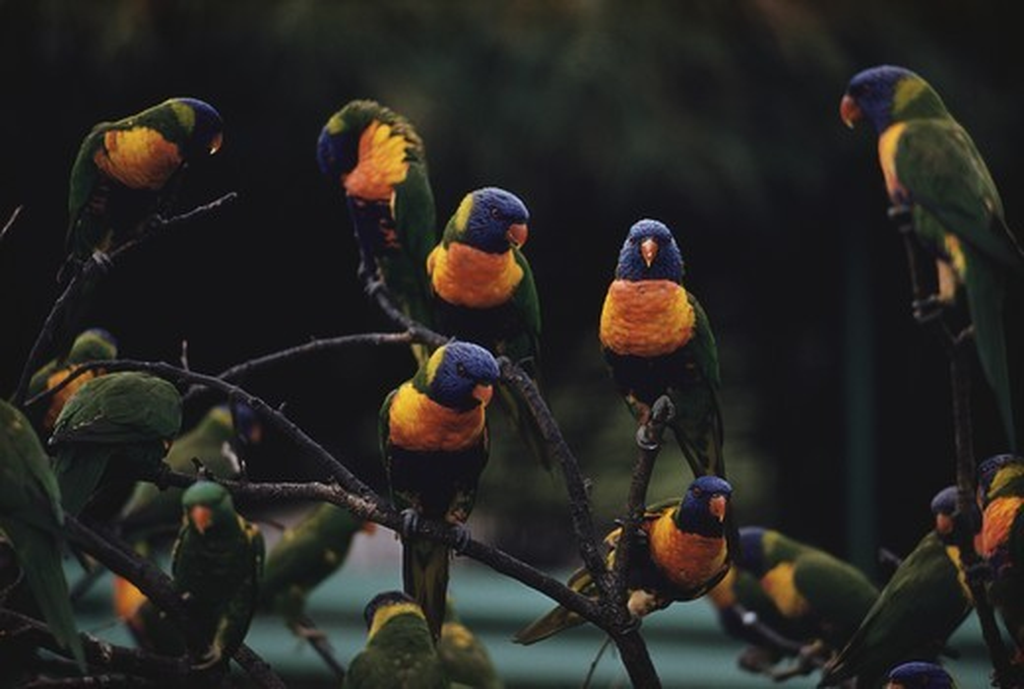 Stock Photo: 4179-7400 Rainbow & Scaly Breasted Lorikeet Australia