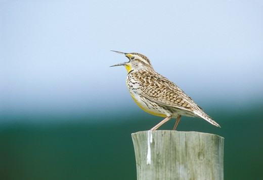 Stock Photo: 4179-7473 W. Meadowlark singing, SD (Sturnella neglecta), Buffalo Gap N. Grasslands