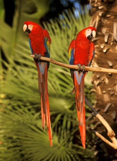 Scarlet Macaw San Diego Zoo - CA : Stock Photo