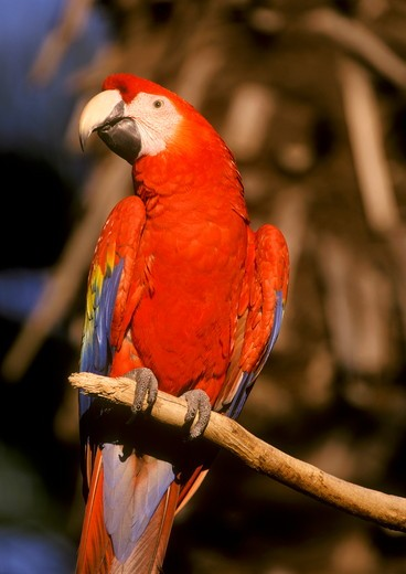Stock Photo: 4179-7606 Scarlet Macaw, San Diego Zoo, California