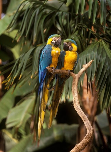 Blue & Gold Macaw, San Diego Zoo, California : Stock Photo