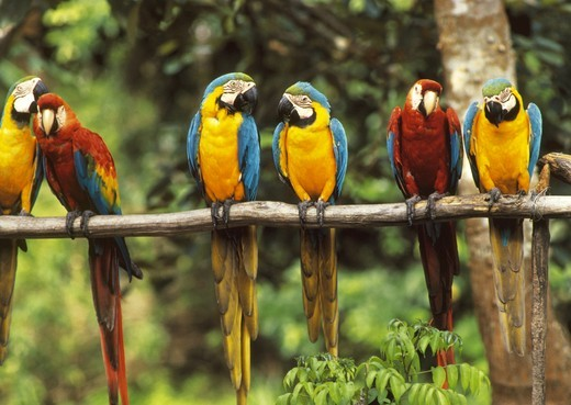 Macaws: Scarlet and Blue & Yellow  (Ara chloroptera & Ara arauna), Amazon, Peru : Stock Photo