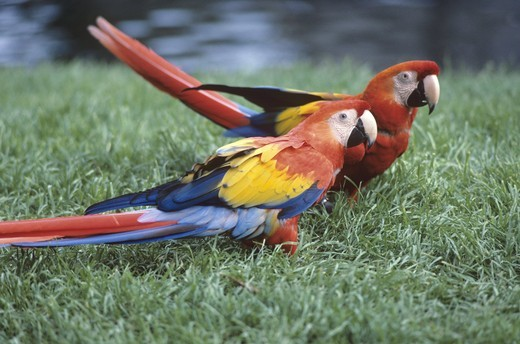 Scarlet Macaws, San Diego Zoo, CA : Stock Photo