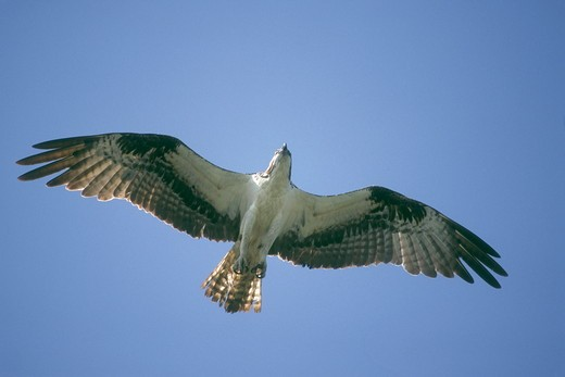 Florida Osprey (Pandion haliaetus) Marco Island, FL : Stock Photo