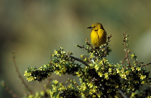 Stock Photo: 4179-8026 Bullock's Oriole (Icterus bullockii), juv. male on Bitterbrush, Mono Co, CA