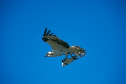 Osprey in Flight carrying Fish (Pandion haliaetus), Southern FL : Stock Photo