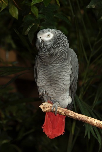 African Gray Parrot (Psittacus erithacus) Vancouver Canada : Stock Photo
